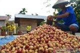 Pendapatan petani pala di Maluku Utara terus meningkat