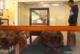 Pengunjung melihat koleksi fosil tulang badak purba yang dipajang usai menjalani tahap penelitian di Museum Trinil, Ngawi, Jawa Timur, Selasa (9/7/2019).Pemerintah akan bekerjasama dengan Museum Leiden-Belanda untuk melakukan penelitian serta  penggalian fosil di kawasan sungai Bengawan Solo di sekitar Museum Trinil karena diduga masih banyak fosil yang terpendam guna  menambah koleksi museum dan kemajuan ilmu pengetahuan khususnya kepurbakalaan. Antara Jatim/Ari Bowo Sucipto/zk.