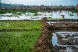 Kementerian Pertanian: Musim kemarau saatnya optimalisasi lahan rawa