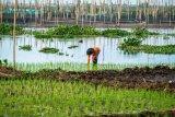 Menanam padi di kawasan danau Rawa Pening