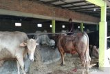 Pedagang Kulon Progo mendatangkan hewan kurban dari Gunung Kidul
