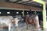 Stok hewan kurban di Kulon Progo 32.970 ekor