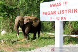 Gajah Sumatra jinak bernama Suci yang hamil berada di dalam kandang di Conservation Response Unit (CRU) Desa Alue Kuyun, Woyla Timur, Aceh Barat, Sabtu (13/7/2019) Menurut keterangan mahout, kehamilan Suci diperkirakan sudah memasuki bulan ke 20 dan diprediksikan akan melahirkan pada akhir Agustus atau awal September mendatang. (Antara Aceh/Syifa Yulinnas)