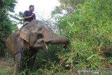 Pawang gajah atau mahout membawa Gajah Sumatra jinak yang hamil untuk dimasukkan ke dalam kandang di Conservation Response Unit (CRU) Desa Alue Kuyun, Woyla Timur, Aceh Barat, Sabtu (13/7/2019). Menurut keterangan mahout, kehamilan gajah jinak yang diberi nama Suci diperkirakan sudah memasuki bulan ke 20 dan diprediksikan akan melahirkan pada akhir Agustus atau awal September mendatang. (Antara Aceh/Syifa Yulinnas)