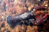 KKP selamatkan Rp1,37 triliun dari penyelundupan benih lobster