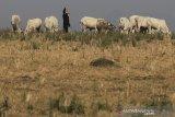 Peternak menggembala sapi di padang rumput di desa Jatisura, Cikedung, Indramayu, Jawa Barat, Selasa (16/7/2019). Kementerian Pertanian menargetkan pada tahun 2026 populasi sapi atau kerbau secara nasional akan mengalami peningkatan untuk mewujudkan swasembada daging sapi. ANTARA JABAR/Dedhez Anggara/agr