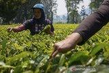 Petani memetik daun teh hijau saat panen di Perkebunan Teh Gambung, Ciwidey, Kabupaten Bandung, Jawa Barat, Selasa (16/7/2019). Direktur Perlindungan Perkebunan Kementerian Pertanian Dudi Gunadi menyatakan, Kementerian Pertanian menargetkan hingga 2024 produksi teh dalam negeri meningkat dengan rata-rata 231.771 ton per tahun dari yang saat ini hanya mencapai 140.000 ton. ANTARA JABAR/Raisan Al Farisi/agr