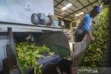 Pekerja mengolah daun teh hijau di Pabrik Teh Pusat Penelitian Teh dan Kina (PPTK), Gambung, Ciwidey, Kabupaten Bandung, Jawa Barat, Selasa (16/7/2019). Direktur Perlindungan Perkebunan Kementerian Pertanian Dudi Gunadi menyatakan, Kementerian Pertanian menargetkan hingga 2024 produksi teh dalam negeri meningkat dengan rata-rata 231.771 ton per tahun dari yang saat ini hanya mencapai 140.000 ton. ANTARA JABAR/Raisan Al Farisi/agr