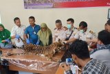 Karantina Padang serahkan kulit harimau ke BKSDA Sumbar, pengirim ditelusuri