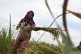 Panen padi lebih awal akibat hama tikus