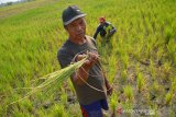 Warga menunjukkan tanaman padi yang dibiarkan telantar di areal persawahan Desa Tampingmojo, Kecamatan Tembelang, Kabupaten Jombang, Jawa Timur, Rabu (17/7/2019). Sekitar 5 hektar sawah yang ditanami padi di wilayah setempat sengaja dibiarkan terlantar, karena petani kewalahan mengairi lahan menggunakan pompa sebab tidak adanya air irigasi pada musim kemarau seperti saat ini. Antara Jatim/Syaiful Arif/zk.