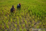 Warga melihat tanaman padi yang dibiarkan telantar di areal persawahan Desa Tampingmojo, Kecamatan Tembelang, Kabupaten Jombang, Jawa Timur, Rabu (17/7/2019). Sekitar 5 hektar sawah yang ditanami padi di wilayah setempat sengaja dibiarkan terlantar, karena petani kewalahan mengairi lahan menggunakan pompa sebab tidak adanya air irigasi pada musim kemarau seperti saat ini. Antara Jatim/Syaiful Arif/zk.