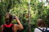 Dua wisatawan mancanegara memantau pergerakan Orangutan (pongo pygmaeus) yang sedang bergelantungan di pohon di Semenggoh Wildlife Centre di Kuching, Sarawak, Selasa (16/7/2019). Semenggoh Wildlife Centre yang menjadi pusat rehabilitasi dan perlindungan Orangutan sejak 1975 tersebut menjadi salah satu destinasi wisata Sarawak yang dapat dikunjungi wisatawan domestik dan mancanegara. ANTARA FOTO/Jessica Helena Wuysang/hp.