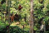Seorang ranger berdiri tak jauh dari tiga Orangutan (pongo pygmaeus) yang sedang bergelantungan di pohon di Semenggoh Wildlife Centre di Kuching, Sarawak, Selasa (16/7/2019). Semenggoh Wildlife Centre yang menjadi pusat rehabilitasi dan perlindungan Orangutan sejak 1975 tersebut menjadi salah satu destinasi wisata Sarawak yang dapat dikunjungi wisatawan domestik dan mancanegara. ANTARA FOTO/Jessica Helena Wuysang/hp.