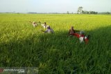 Petani OKU Timur terima bantuan cairan pestisida halau hama wereng
