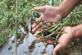 Jamur Patek Serang Buah Cabai