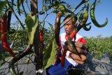 Petani memanen cabai merah di Desa Samiran, Pamekasan, Jawa Timur, Kamis (18/7/2019). Produksi cabai merah di daerah itu anjlok hingga 60 persen dari biasanya satu ton menjadi 400 kg sekali panen, karena virus. Antara Jatim/Saiful Bahri/zk.