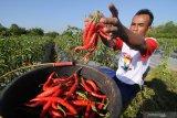Petani memanen cabai merah di Desa Samiran, Pamekasan, Jawa Timur, Kamis (18/7/2019). Produksi cabai merah di daerah itu anjlok hingga 60 persen dari biasanya satu ton menjadi 400 kg sekali panen, karena terserang virus. Antara Jatim/Saiful Bahri/zk.