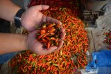 Calon pembeli menunjukkan cabai rawit busuk di pasar tradisional Jombang, Jawa Timur, Kamis (18/7/2019). Para pedagang cabai eceran di pasar tradisional Kabupaten Jombang mengaku kenaikan harga cabai bervariasi yang mencapai Rp65 ribu-Rp80 ribu per kilogramnya tersebut membuat banyak lapak pedagang menjadi sepi pembeli dari biasanya bisa menjual sebanyak 15 Kg per hari menjadi 8-10 Kg. Antara Jatim/Syaiful Arif/zk.