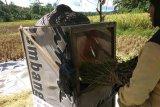 Produksi beras di Lebak surplus delapan bulan kedepan