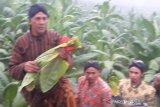 Awali panen, masyarakat lereng Sindoro ritual