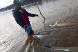 Sebar bibit ikan ke seluruh sungai di Barito, kata Legislator Kalteng
