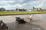148 hektare lahan padi  di Sleman puso