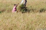 Warga memotong tanaman padi yang mengering untuk dijadikan pakan sapi di Desa Tanjung, Pamekasan, Jawa Timur, Senin (22/7/2019). Warga memanfaatkan tanaman padi yang gagal panen itu menjadi makanan ternak mereka. Antara Jatim/Saiful Bahri/zk