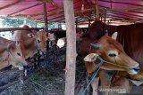 Kebutuhan hewan kurban Pekanbaru meningkat 3 persen