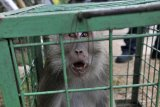 MONYET MASUK PEMUKIMAN. Petugas BKSDA (Balai Konservasi Sumber Daya Alam) Wilayah Banten menangkap monyet ekor panjang (Macaca fascicularis) yang berkeliaran di Kampung Kaloran, Serang, Banten, Senin (22/7/2019). sejak sepekan terakhir petugas BKSDA setempat telah menangkap tiga ekor kera yang berkeliaran di pemukiman dan meresahkan warga diduga karena kelompok hewan tersebut kesulitan air di habitat aslinya akibat kemarau. ANTARA FOTO/Asep Fathulrahman/ANTARA FOTO/ASEP FATHULRAHMAN (ANTARA FOTO/ASEP FATHULRAHMAN)
