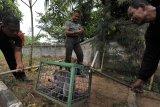 MONYET MASUK PEMUKIMAN. Tiga petugas BKSDA (Balai Konservasi Sumber Daya Alam) Wilayah Banten menangkap monyet ekor panjang (Macaca fascicularis) yang berkeliaran di Kampung Kaloran, Serang, Banten, Senin (22/7/2019). sejak sepekan terakhir petugas BKSDA setempat telah menangkap tiga ekor kera yang berkeliaran di pemukiman dan meresahkan warga diduga karena kelompok hewan tersebut kesulitan air di habitat aslinya akibat kemarau. ANTARA FOTO/Asep Fathulrahman/ANTARA FOTO/ASEP FATHULRAHMAN (ANTARA FOTO/ASEP FATHULRAHMAN)