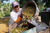 Kesal harga jual anjlok terus, petani daerah ini tebangi tanaman kopi