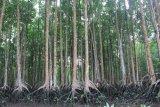Blue Forests akan peringati hari mangrove sedunia di Asmat