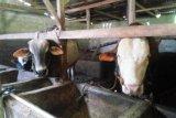 Pemesanan sapi kurban di Lampung Timur masih sepi
