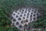 Semburan lumpur dari pengeboran ilegal di Kaliberau-Musi Banyuasin berhasil ditutup