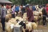 Populasi domba melimpah, Temanggung siap pasok ke luar daerah
