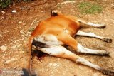 Karena ketiadaan pakan ternak, 80 sapi di Timor Tengah Utara berguguran