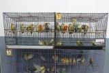 Kementan gagalkan penyelundupan burung lovebirds dari Filipina