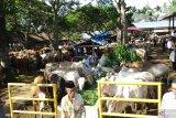 Harga sapi kurban di Tanah Datar tembus Rp17 juta perekor (Video)