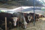 Ini alasan sapi Sukabumi diminati pejabat hingga politisi