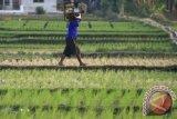 700 hektare sawah di Cirebon alami gagal panen