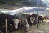 Sentra produksi sapi OKU Timur miliki stok 14.000 ekor
