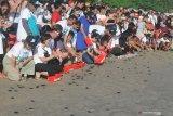 Induk penyu yang bertelur di pesisir Tulungagung turun drastis jumlahnya