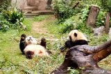 Panda raksasa pinjaman China mati mendadak,  jutaan orang minta diungkap penyebabnya