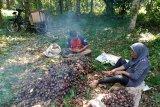 Musim kemarau malah membawa berkah petani jengkol