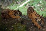 Dua harimau sumatera dilepasliarkan ke habitatnya di Riau