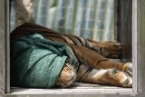 Aauum...Harimau berkeliaran dekat fasilitas Chevron saat Riau dilanda karhutla
