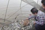 Gubernur Sumsel ajak lestarikan tradisi budidaya ikan,  Melalui tradisi melebung