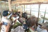 Balai Karatina Pertanian Tanjungpinang periksa kesehatan hewan kurban