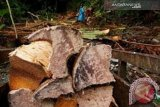 Produk sagu Sulawesi Tenggara rambah pasar antarpulau